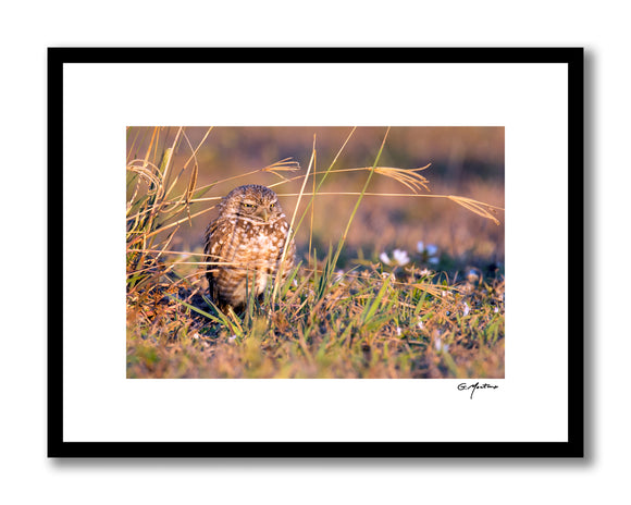 Burrowing Owl - Cape Coral, Florida