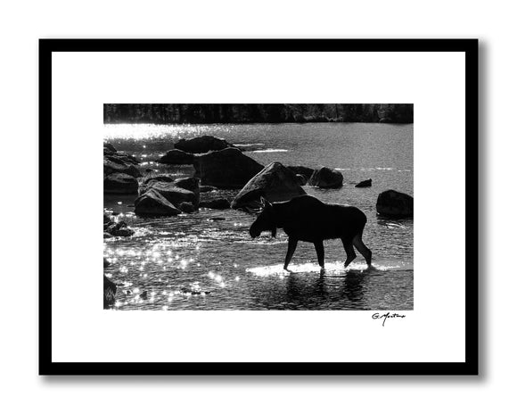 Maine Bull Moose in Black & White