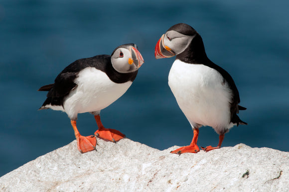 Discussion Between Two Maine Puffins