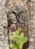 Great Grey Owl inside Maine's Acadia National Park