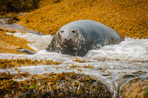 Gray Seal Basks at Gulf of Maine