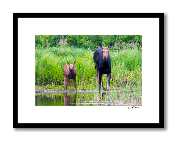 Maine Moose Family Portrait