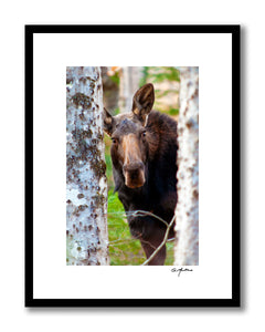 Curious Maine Cow Moose