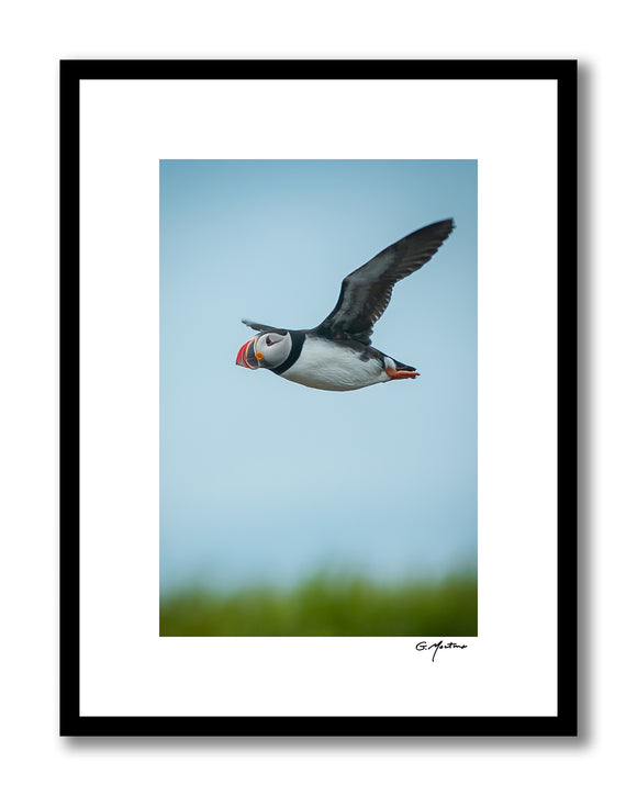 Maine Atlantic Puffin in Flight