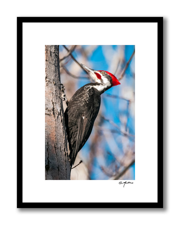 Maine Pileated Woodpecker