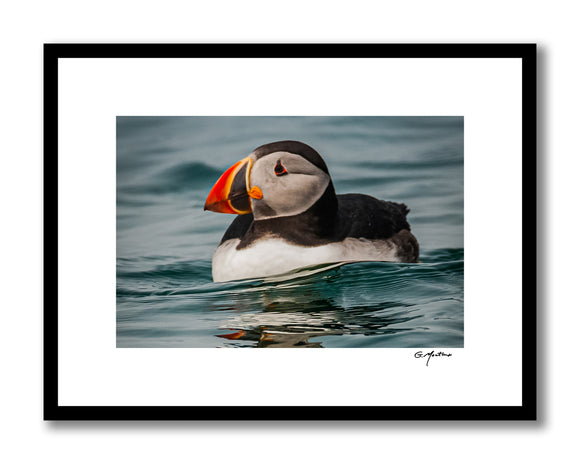 Maine Atlantic Puffin at Rest