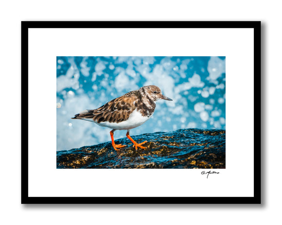 Ruddy Turnstone on Maine Coast