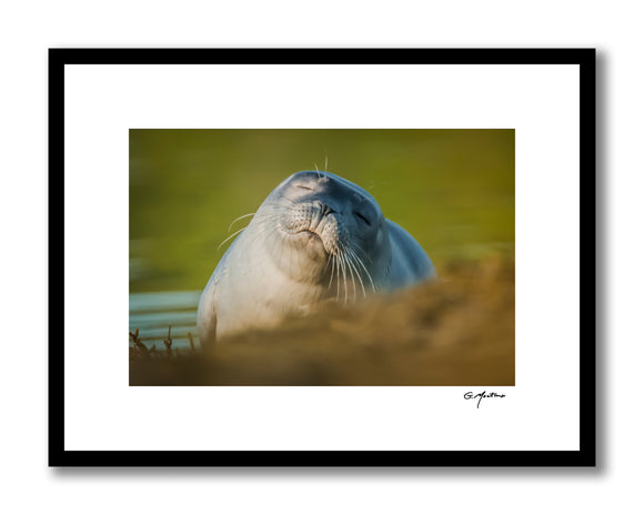 Maine Harbor Seal Basks in the Morning Sun