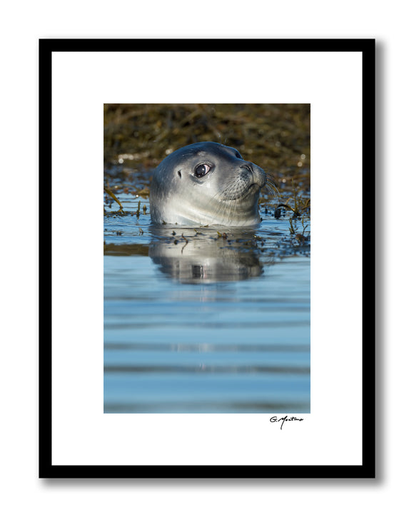 Maine Harbor Seal with an Attitude