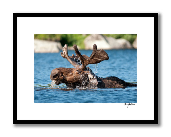Maine Moose Takes a Refreshing Dip