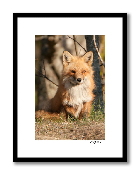 Drowsy Maine Red Fox