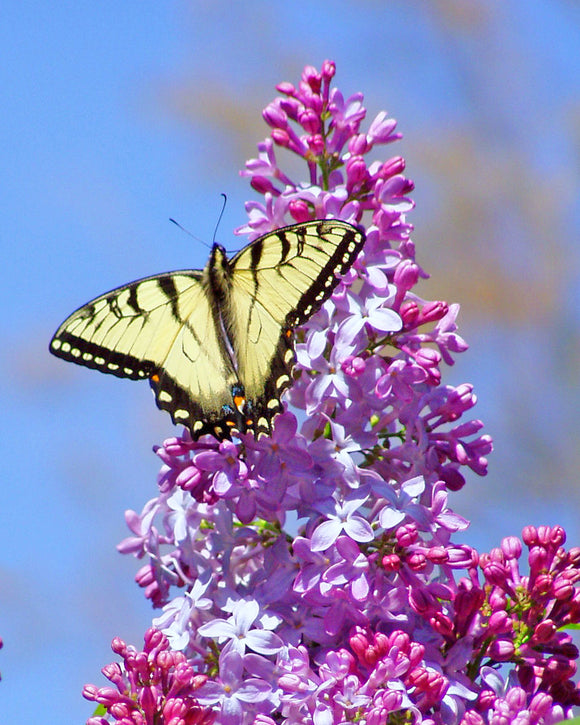 Ron Bruner's - Butterfly on Lilac - Somerset County Photo Note Cards - 6PKG.