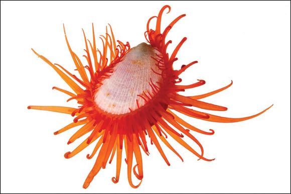 Sunday Invertebrates - The Flame Scallop
