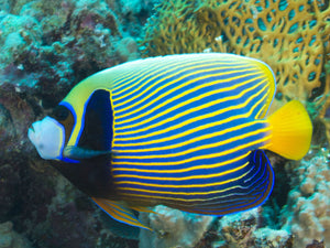 Friday Fish Facts - The Emperor Angelfish
