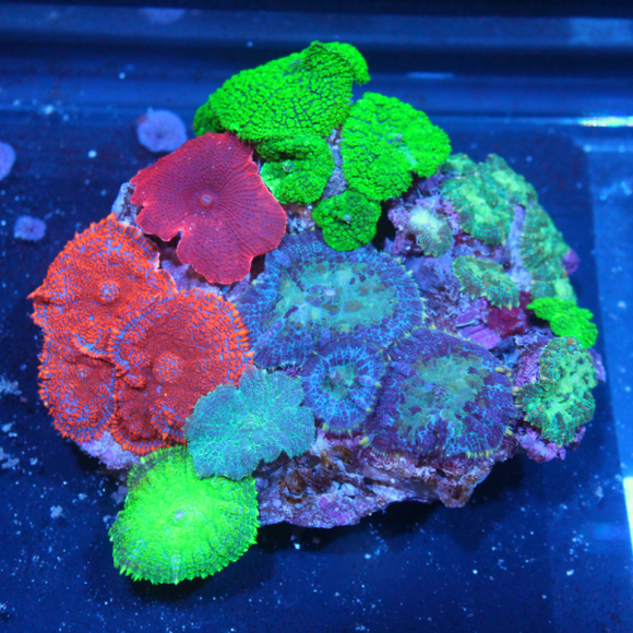 Top Ten List of Easy Care Corals for Reef Aquariums
