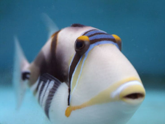 Friday Fish Facts - The Picasso Trigger Fish