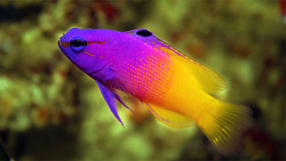 Friday Fish Facts - The Royal Gramma