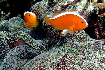 Friday Fish Facts - Orange Skunk Anemonefish
