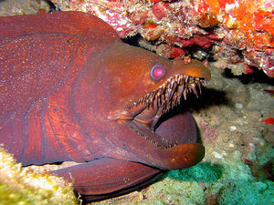 Friday Fish Facts - Viper Moray Eel