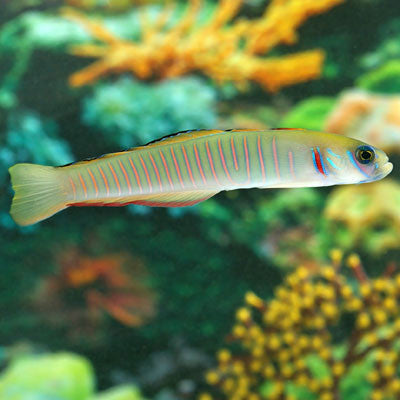 Friday Fish Facts - The Zebra Dart Goby