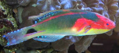 Exquisite Fairy Wrasse 1