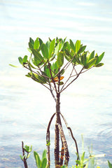 Red Mangroves in the Wild
