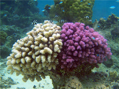 Two Tone Pocillopora