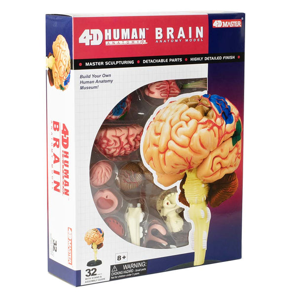 4D Human Anatomy Brain Model