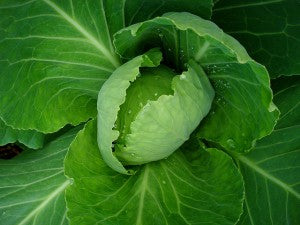 Cabbage photo by Christian Guthier on Flickr Creative Commons