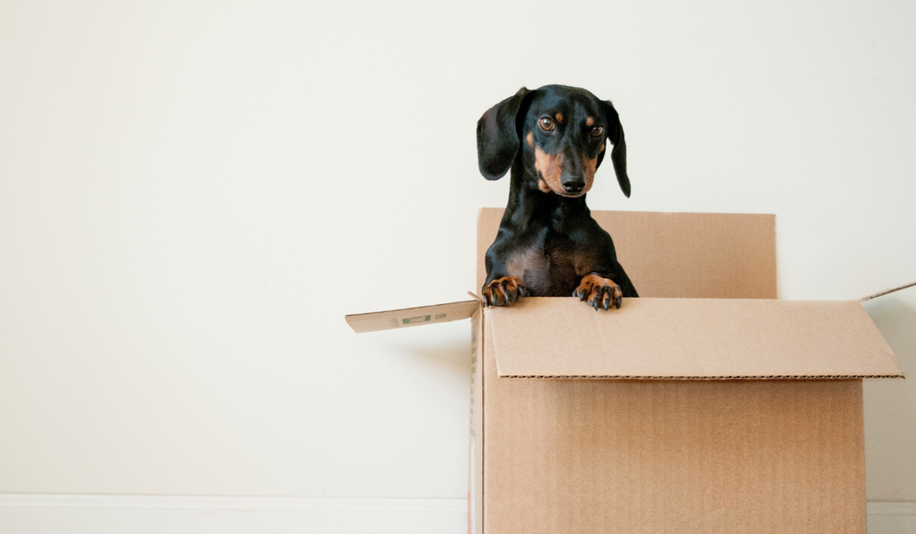 Image of dog in cardboard box by Erda Estremera. For blog article titled Why move to Shopify Plus? with Milk Bottle Labs