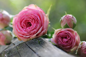 Ingredient Focus: Rose