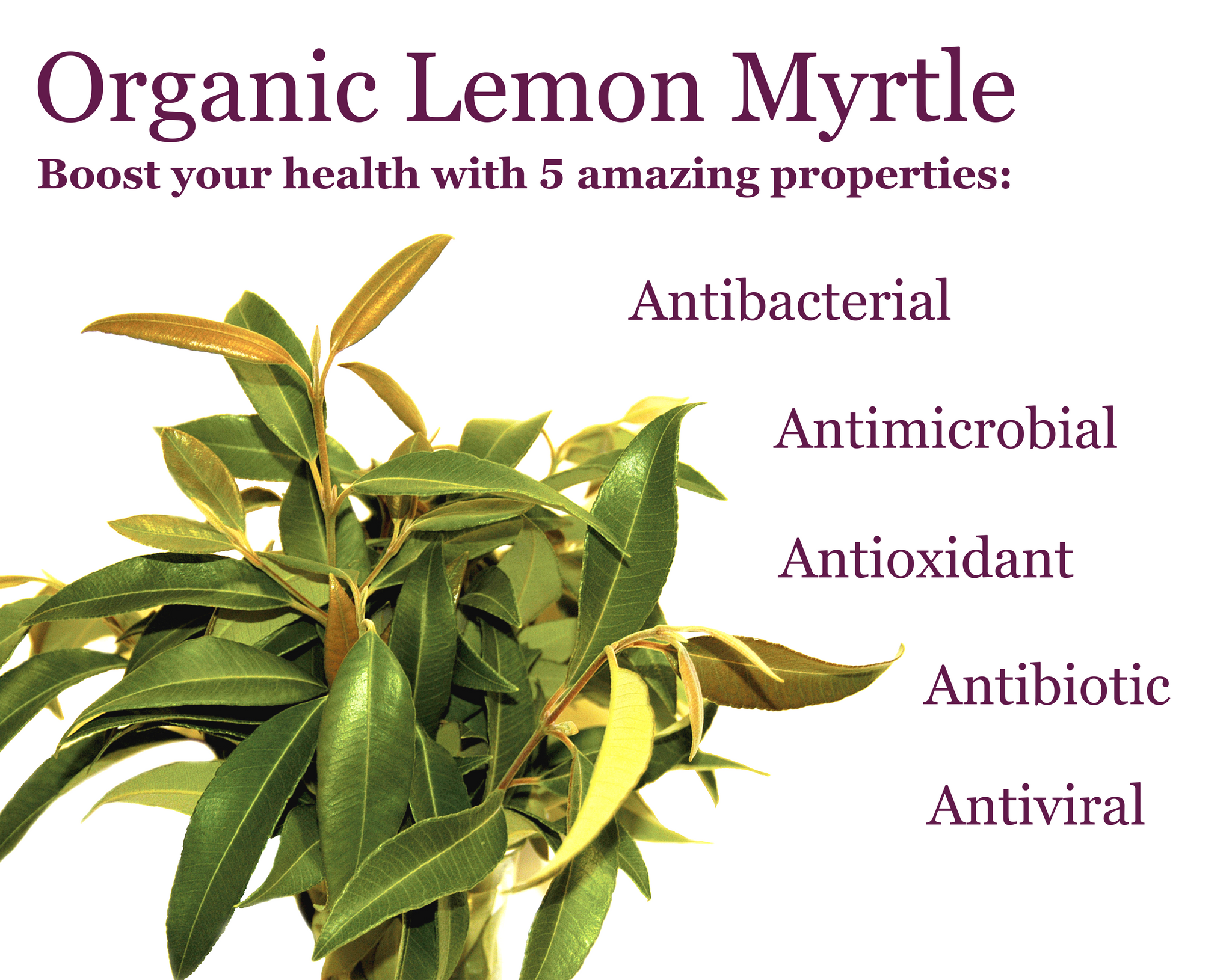 What are the health benefits of Lemon Myrtle? - Tea Palace