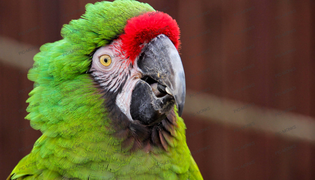 The Speaking Parrot
