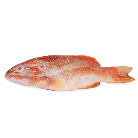 Red Grouper (600g)