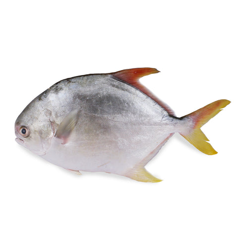 Golden Pomfret (500g)