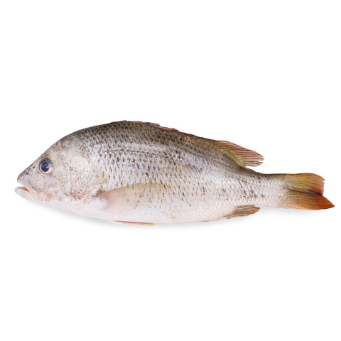 Golden Snapper 红鲷 (500g)
