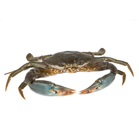 Live Sri Lankan Mud Crab (approximately 600G)
