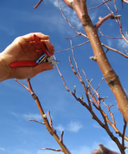 pruning apple