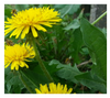 Dandelion Root Powder - naturally grown and pesticide free Dandelion Roots and greens - Harvest Haven
