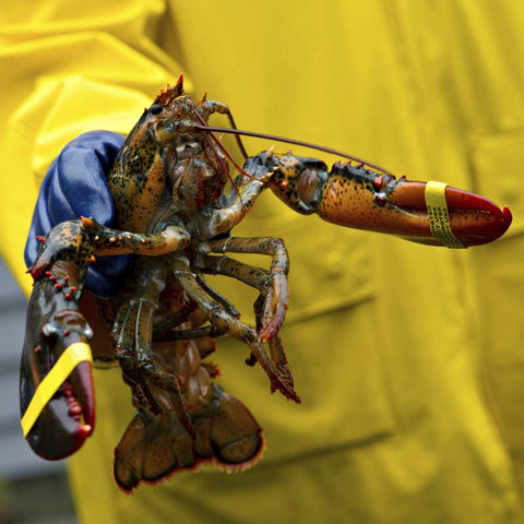 Lobster (live, in-store pick-up only)