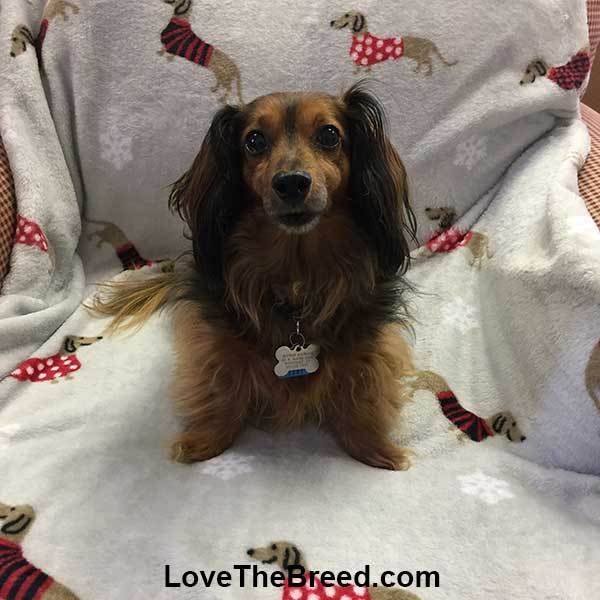 Dachshund Blanket Throw Red Sweaters and Snowflakes