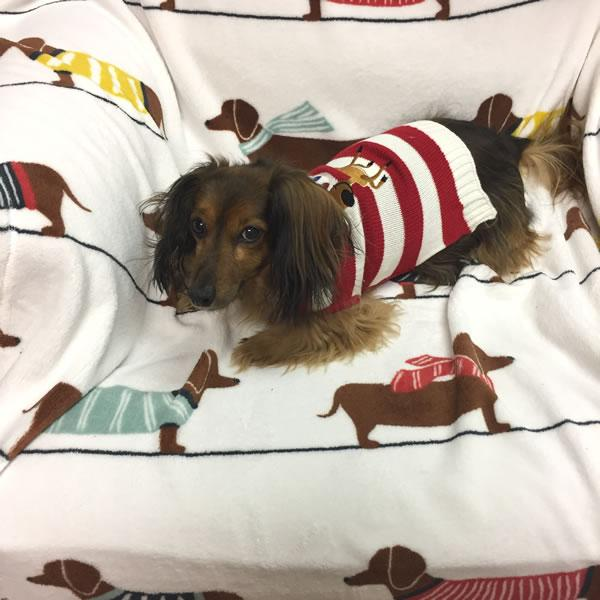Dachshund Holiday Dog Sweater with Reindeer