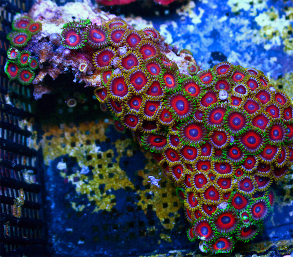 Eagle Eye Zoanthids FULL COLONY WYSIWYG