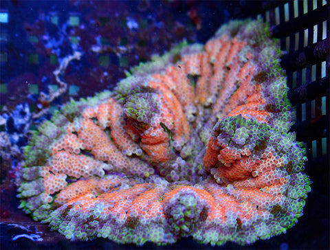 "Neon Orange Maxi Mini Carpet Anemone 2"" WYSIWYG"