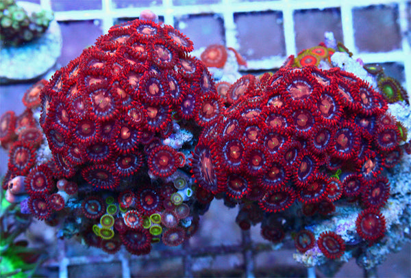 Red Hots Zoanthids FULL COLONY WYSIWYG