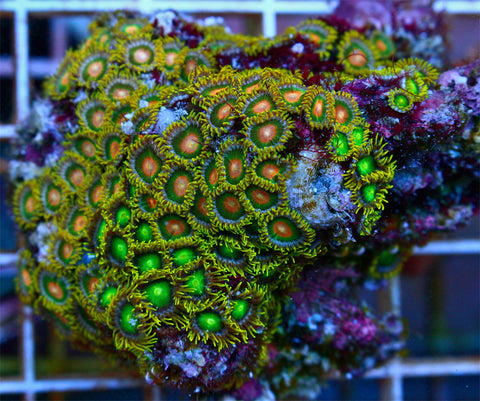 Green Bay Zoanthids FULL COLONY WYSIWYG