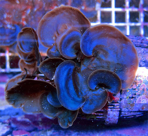 Blue Scroll Macroalgae