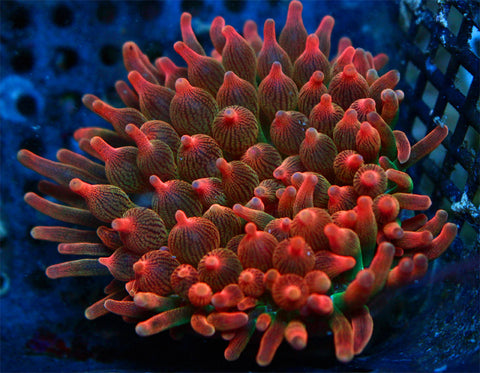 Pink Rainbow Lemonade Bubble Tip Anemone WYSIWYG 3""