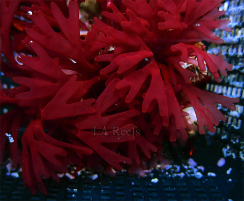 "Red Air Dancer Nemastoma 1"" Macroalgae"