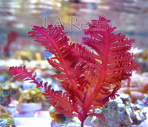 Red Palm Macroalgae 1""